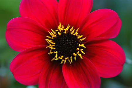 corey hochachka: Red flower