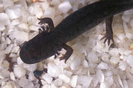 gills: Mudpuppy Salamander