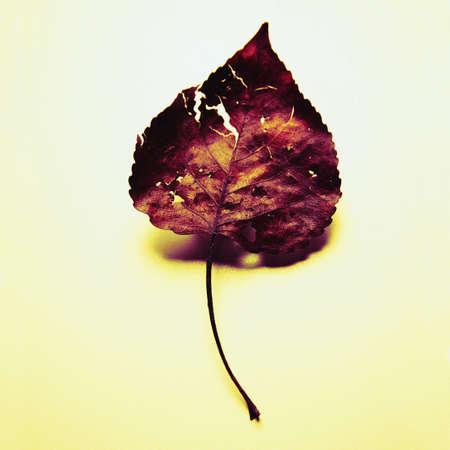 Dried leaf