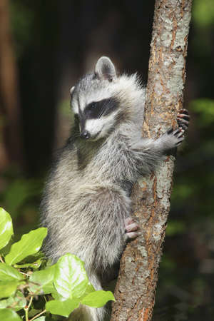 A racoon photo