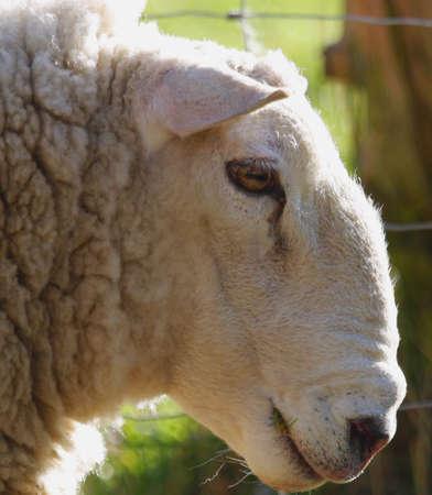 Perfil de una oveja  Foto de archivo - 8241735