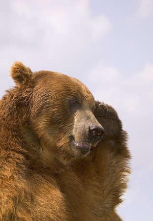 carson ganci: Bear with paw over eye Stock Photo
