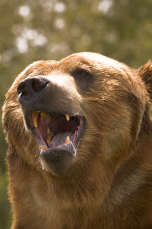 Bear with open mouth photo