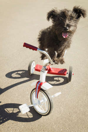 Dog on tricycle photo