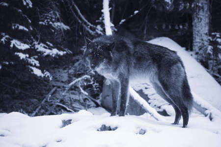 Lone wolf in snow Stock Photo