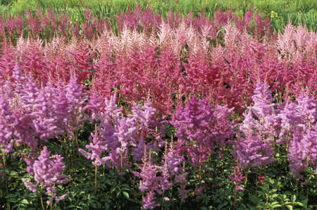 dense mats: Groups of pink astilbe Stock Photo