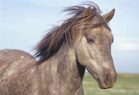 natural selection: Portrait of an Icelandic horse