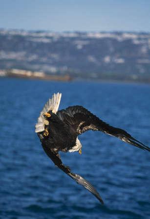 natural selection: Diving bald eagle