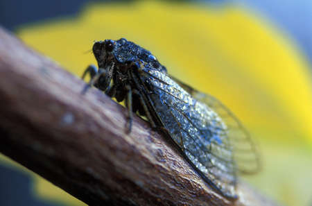 corey hochachka: Singing adult Cicada fly Stock Photo