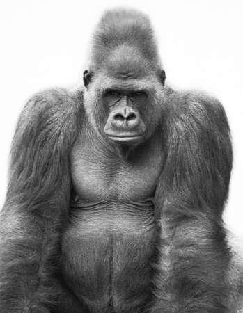 gorilla: Gorilla
