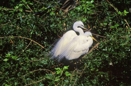 and egrets: Great egrets breeding pair Stock Photo