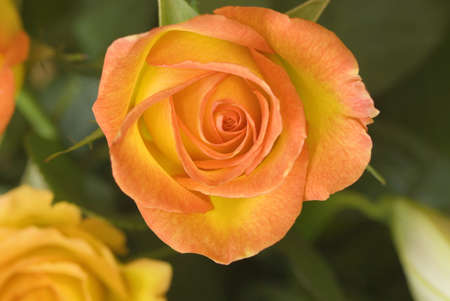 yellow: Hybrid tea rose circus