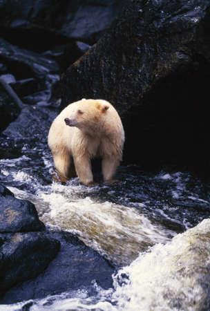 Bear staande in rotsachtige stroom