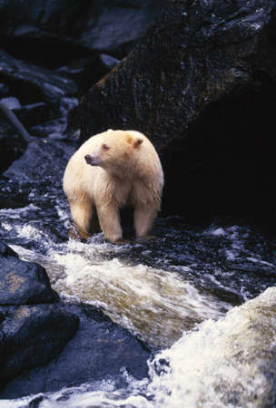 Bear standing in rocky stream