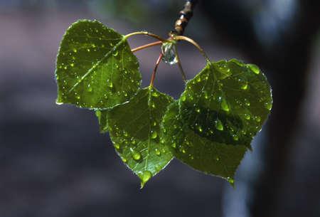 Raindrops on aspen leaves