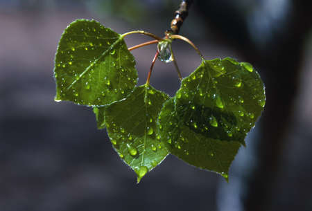 natural selection: Raindrops on aspen leaves