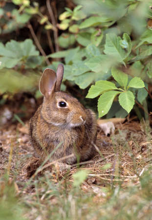 burrowing: Cottontail rabbit