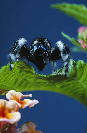 arachnids: Spider on Lantana