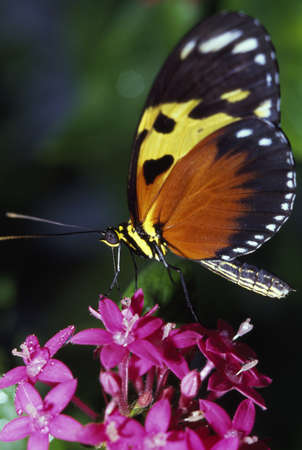 longwing: Tiger Longwing Butterfly