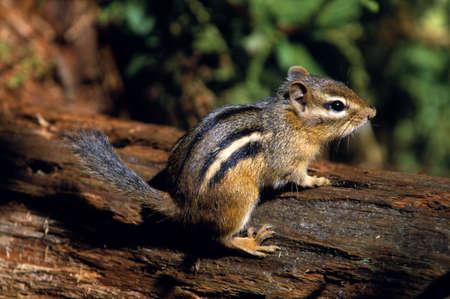 Chipmunk: Chipmunk on a log