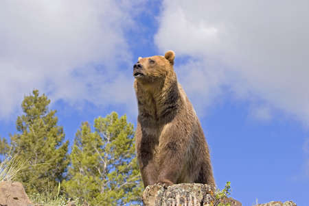 brown: Grizzly bear on cliff Stock Photo