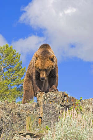Grizzly bear standing on ridge 스톡 콘텐츠