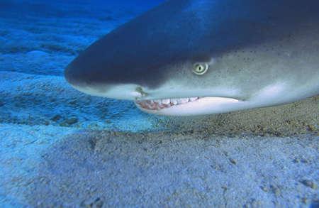 carson ganci: Lemon shark