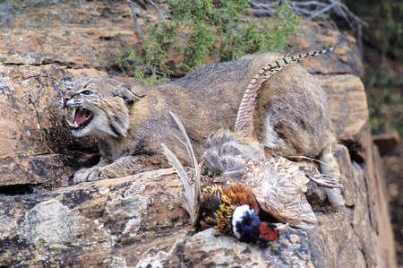 bobcat: Lince con presas
