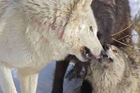 Wolf interaction Stock Photo