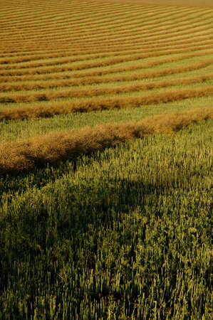 muz: Field of swathes