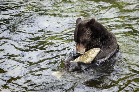 Grizzly bear fishing photo