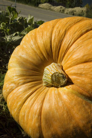 large pumpkin: Large pumpkin