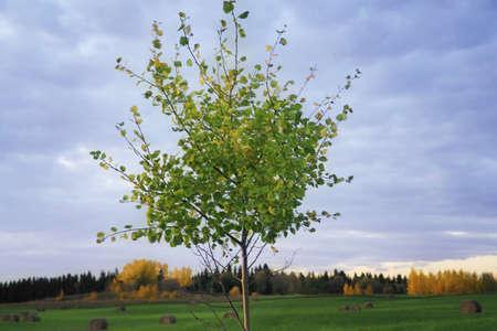 krebs: Tree in a field