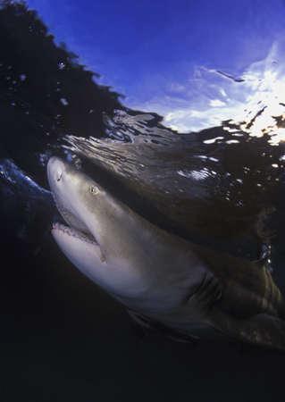 carson ganci: Lemon shark underwater