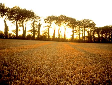 Wheat field, Ireland Фото со стока