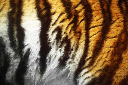 wildanimal: Close-up of a tigers fur