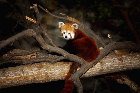 knorr: Red Panda Stock Photo