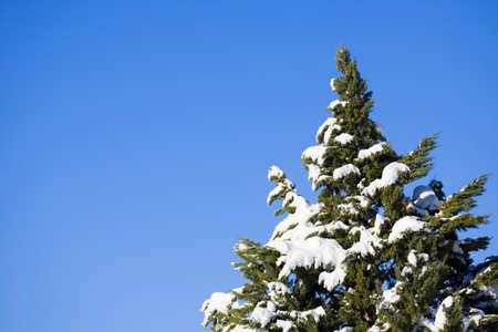 raniszewski: Snow-covered evergreen