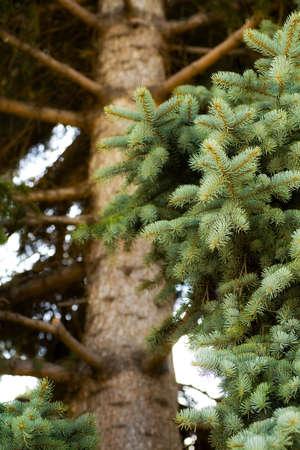 knorr: Spruce tree