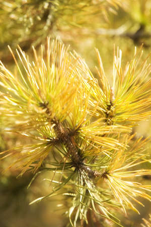 Needles of a Tamarack tree