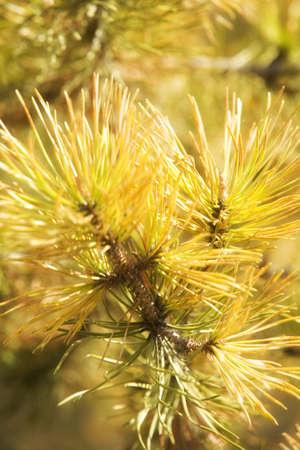 knorr: Needles of a Tamarack tree