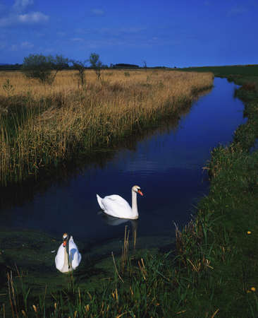 wildanimal: Swans swimming in a bog near Newcastle, County Wicklow, Ireland