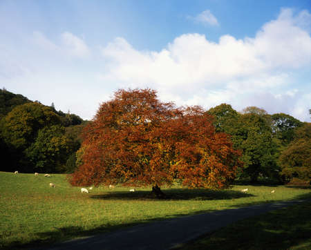 ful: Beech Tree, Glendalough, Co Wicklow, Ireland Stock Photo