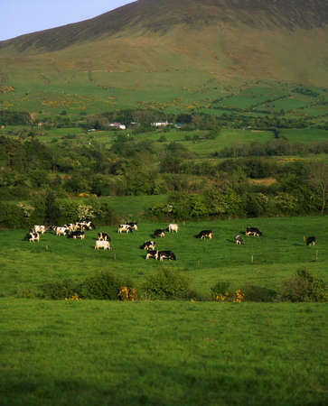 Holstein-Fresian Cattle, Glen Of Aherlow, Golden Vale, Co Tipperary, Ireland photo