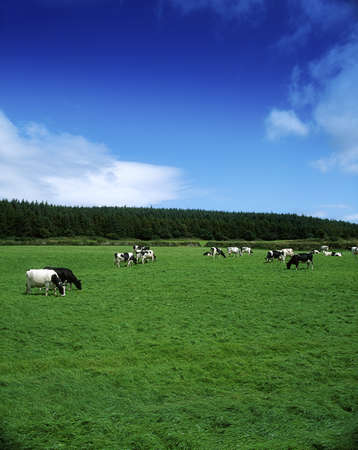 Holstein-Fresian Cattle Near Carrick On Suir, Co Waterford, Ireland