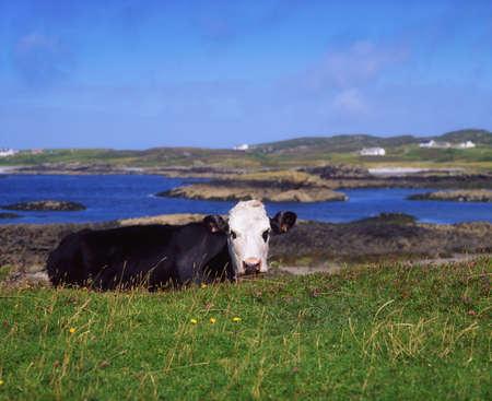 Holstein-Friesian Cows, Co Donegal, Rosbeg, Ireland photo