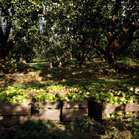 apple orchard: Apple orchard, Ireland