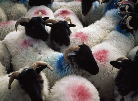 Sheep in a pen, Mannin Bay, Connemara, Co Galway, Ireland Фото со стока - 8242453