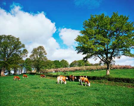 Hereford bullocks, Ireland Standard-Bild