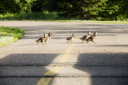 waddling: Young geese crossing a road